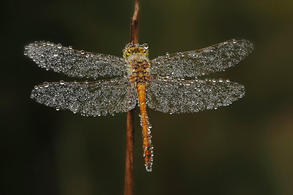 Капельки дождя на крыльях