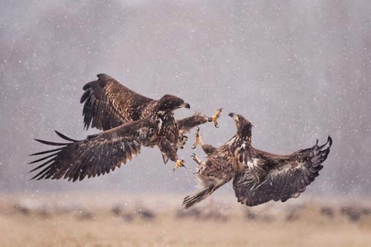 Сражение орлов