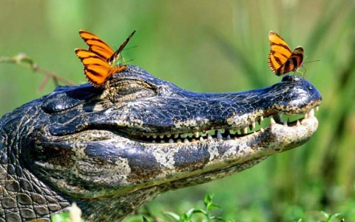 Бабочки на крокодиле