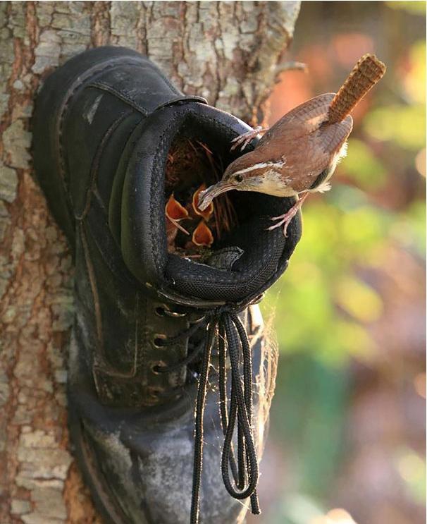 Птичье гнездо в ботинке
