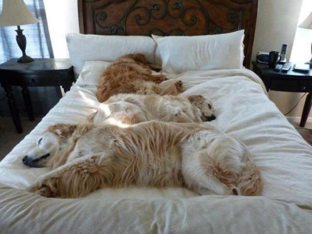 Собаки в постели фото 10