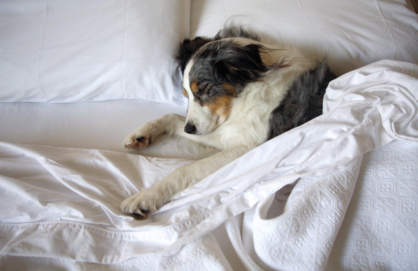 Собаки в постели фото 13