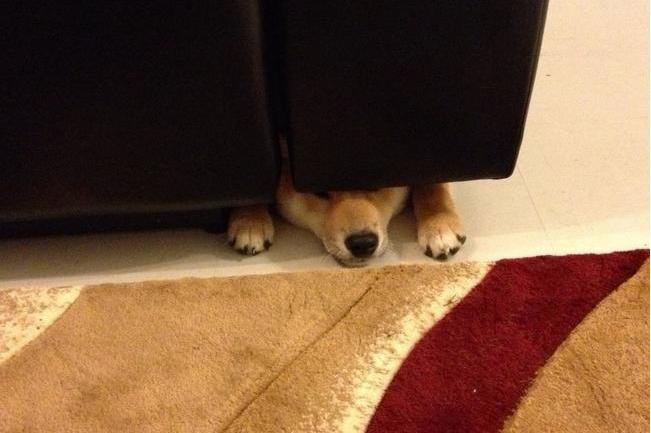 Собака прячется под дивано