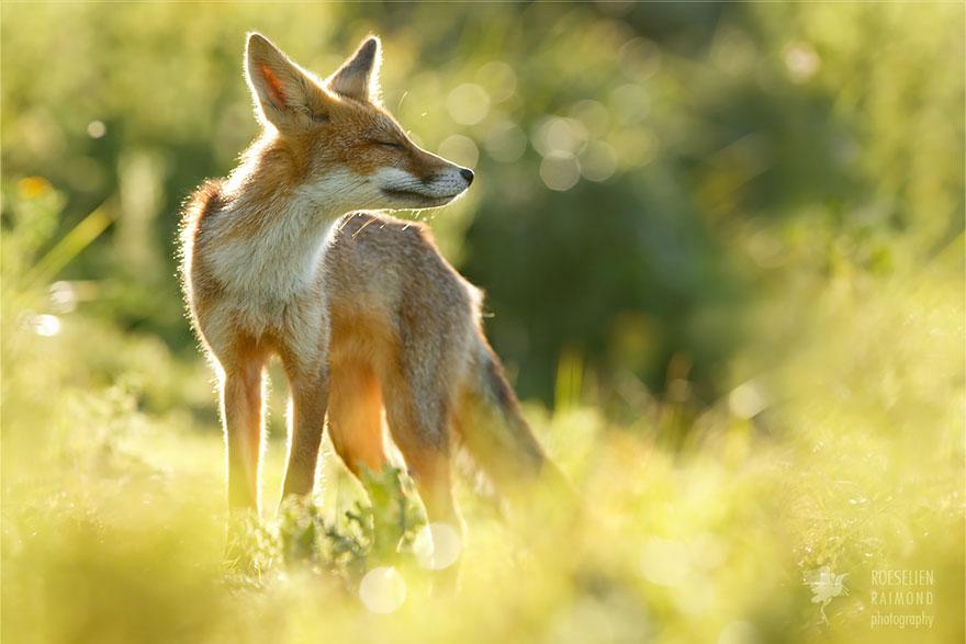 Лисицы в дикой природе фото 10