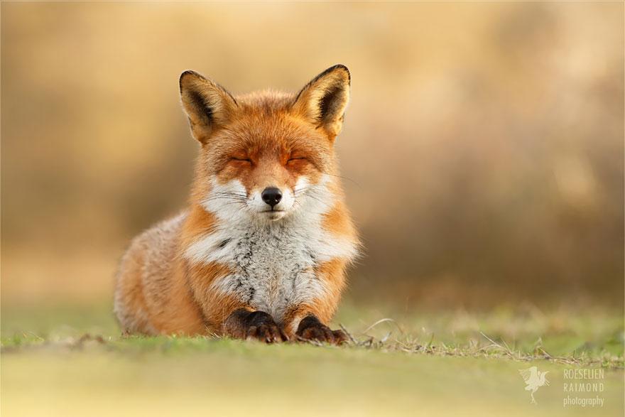 Лисицы в дикой природе фото 11