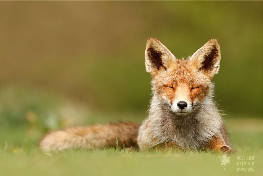 Лисицы в дикой природе фото 2