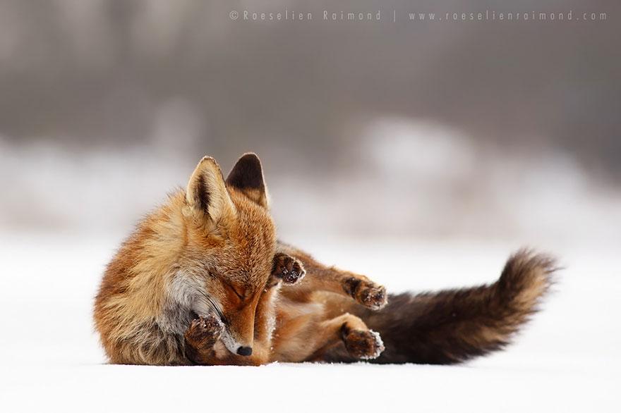 Лисицы в дикой природе фото 3
