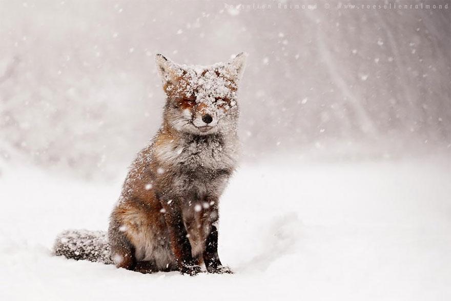 Лисицы в дикой природе фото 4