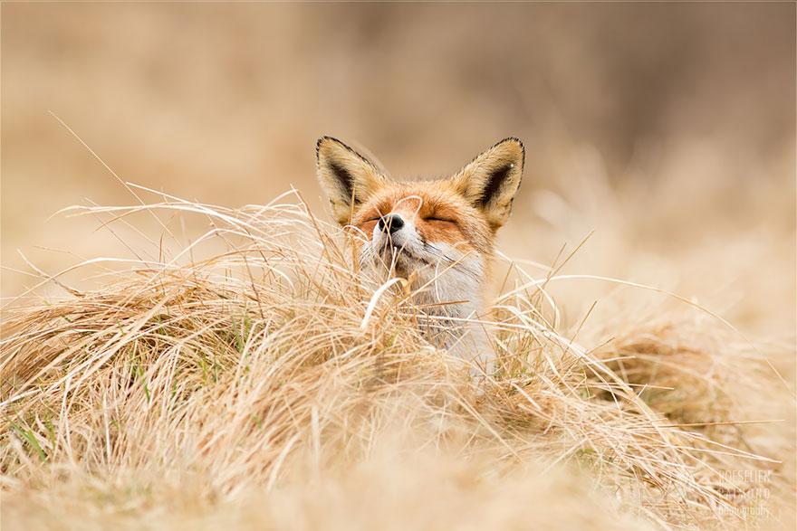 Лисицы в дикой природе фото 5