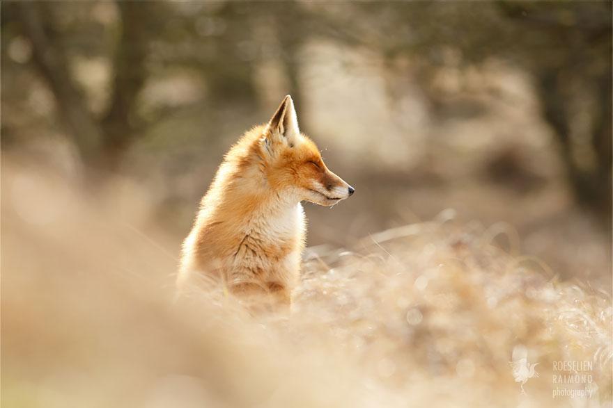 Лисицы в дикой природе фото 7