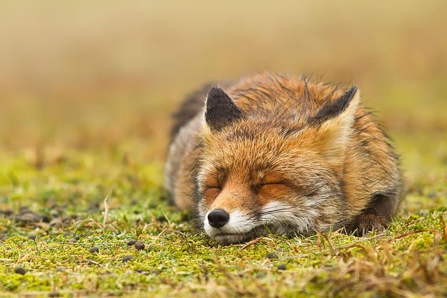 Лисицы в дикой природе фото 8