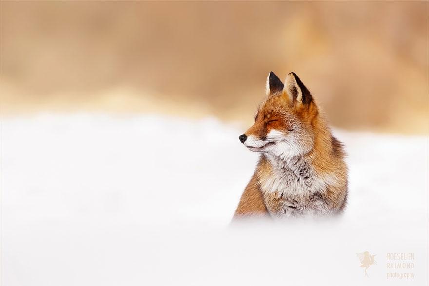 Лисицы в дикой природе фото 9
