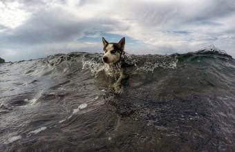 husky-swim-bali
