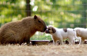 Водосвинка воспитывает щенков