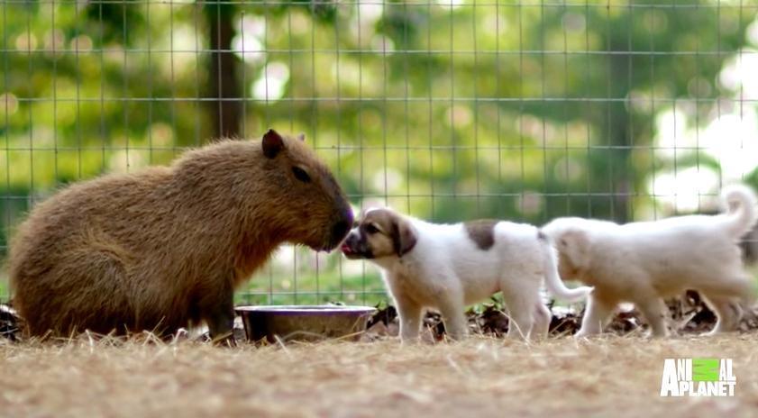 Водосвинка и щенки