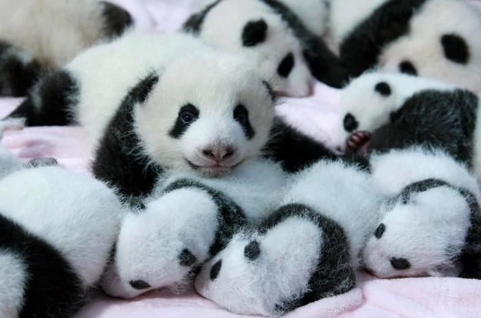 питомник для панд