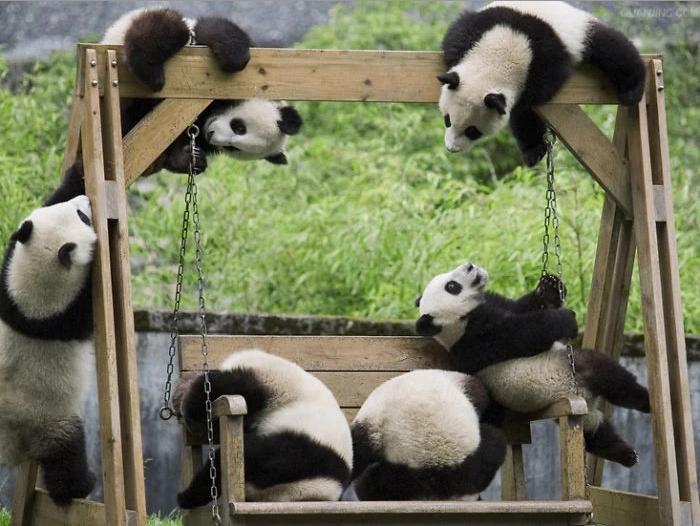 питомник для панд, фото 2