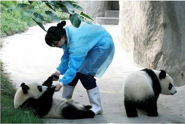 питомник для панд, фото 4