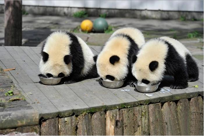 питомник для панд, фото 5