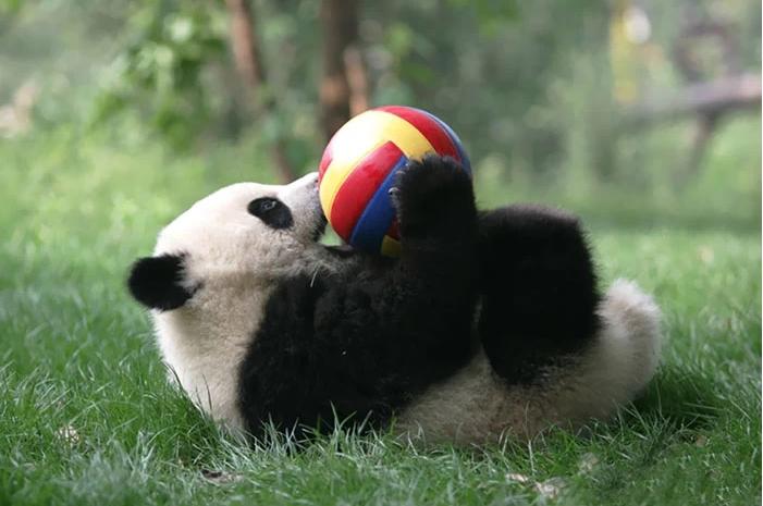 Панда играет с мячиком