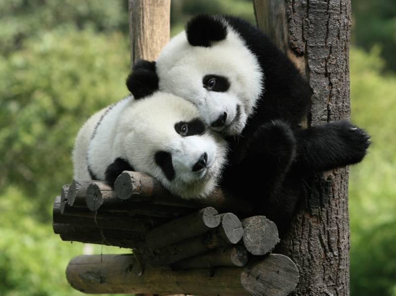 маленькие панды в питомнике