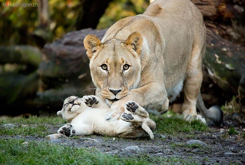 Львица и львенок