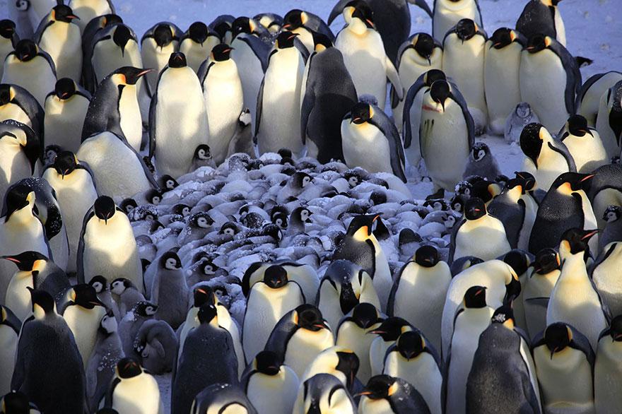 Арктические пингвины фото