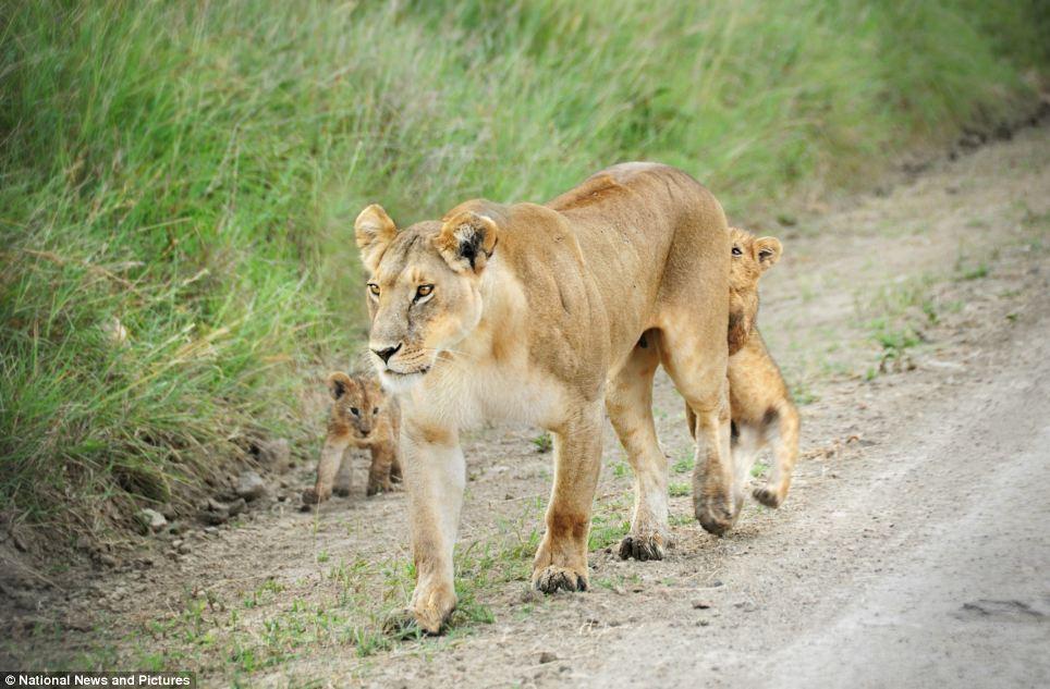 Львица с львенками фото