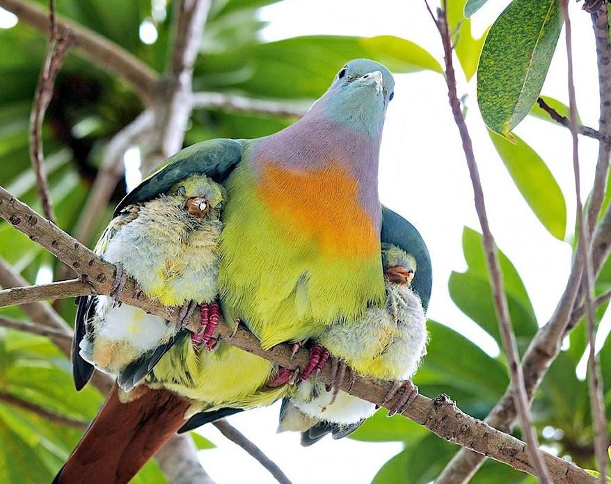 Птенцы под крыльями