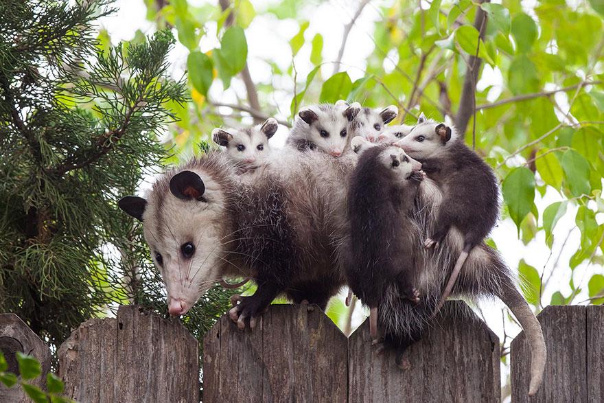 Самка опоссума с малышами