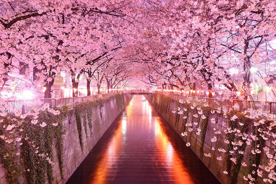 туннель из деревьев сакуры