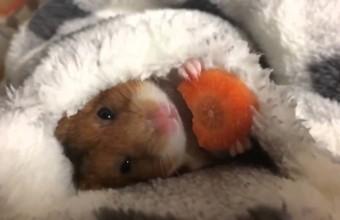 Видео хомяка с морковкой разорвало интернет