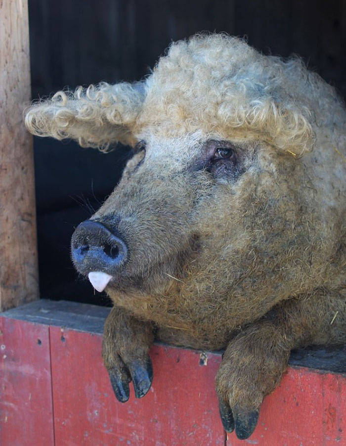 фото кучерявой свиньи