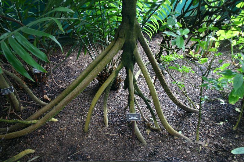 ходячая пальма