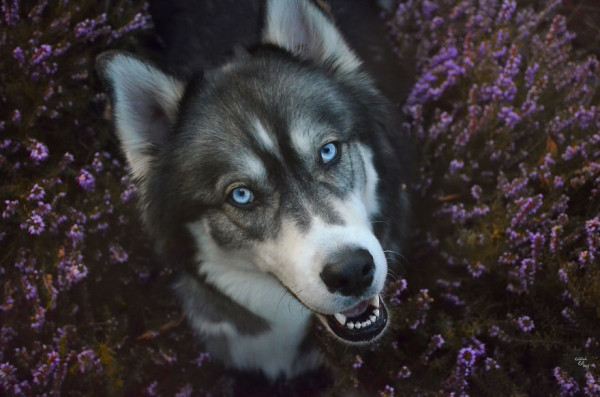 i-rescued-a-husky-and-later-he-saved-me-from-an-abusive-relationship-13__880