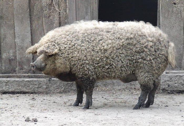 пушистая свинья фото