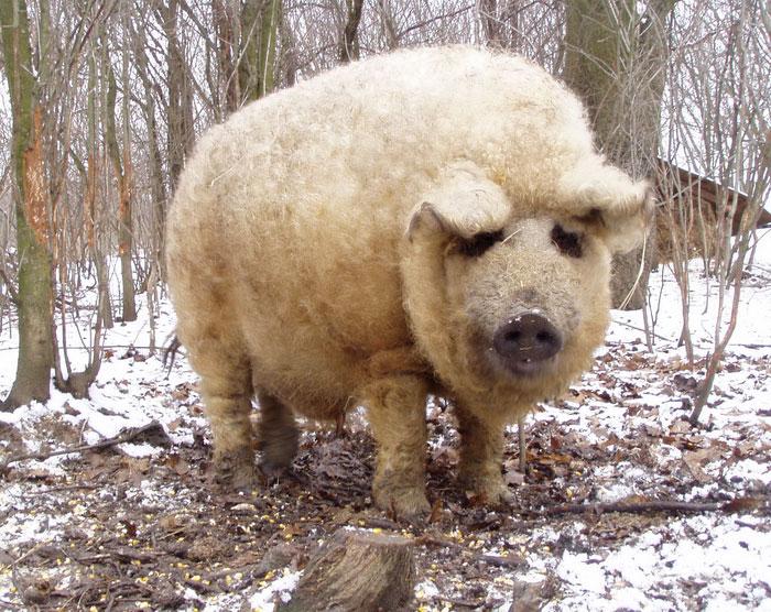 пушистая свинья