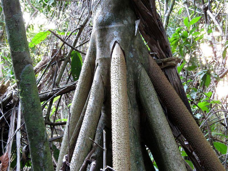 шагающая пальма фото