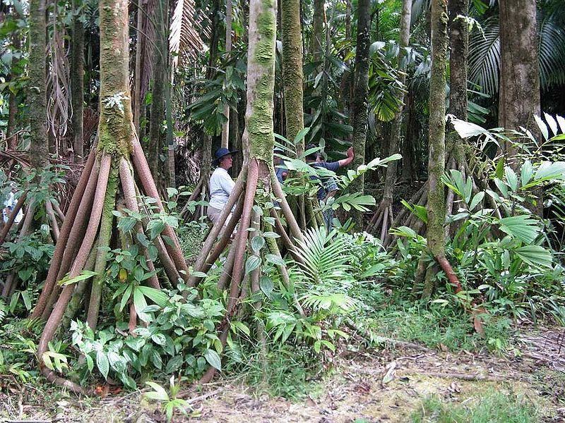 сократея, шагающая пальма