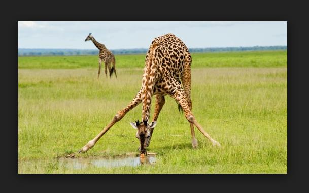 невероятные факты о жирафах