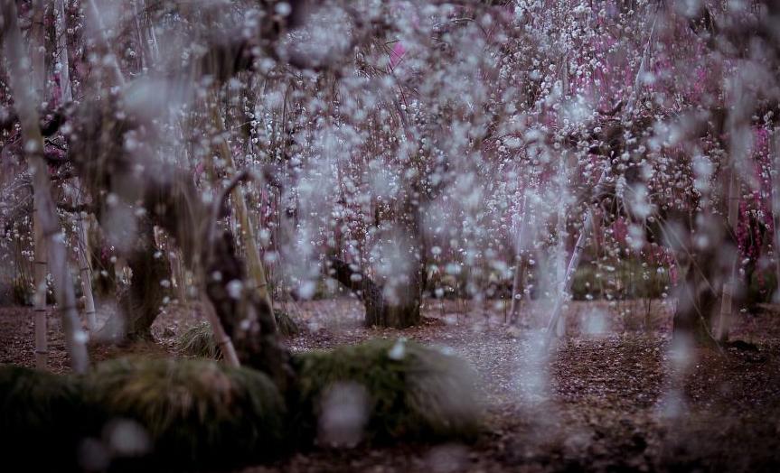 цветущая слива япония