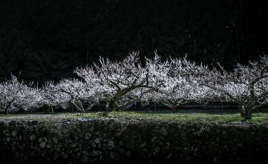 япония , цветущая слива