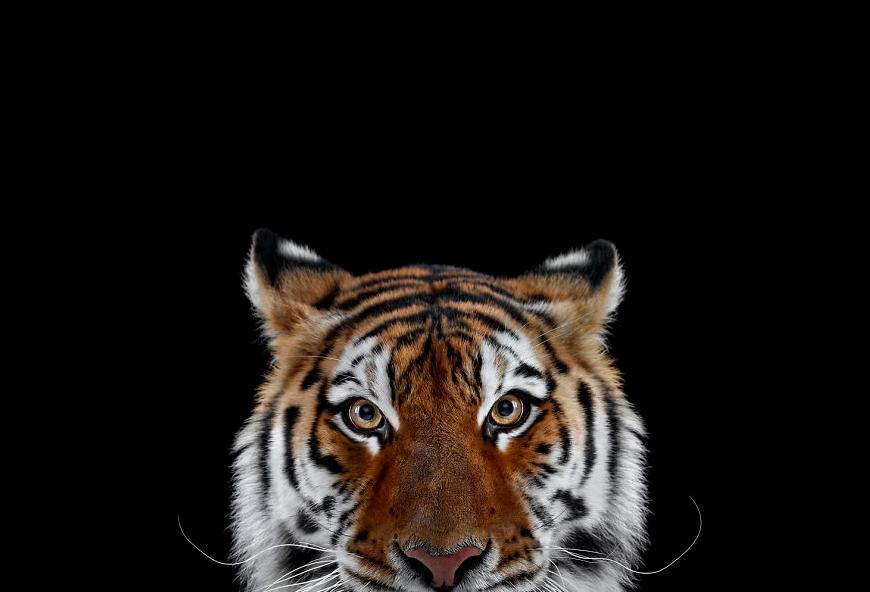 амурский тигр фото в студии