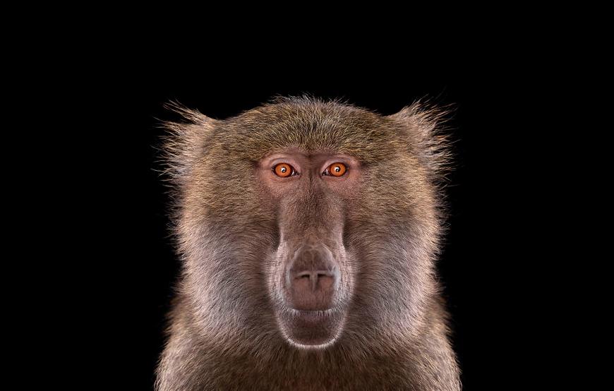 фото бабуина крупным планом