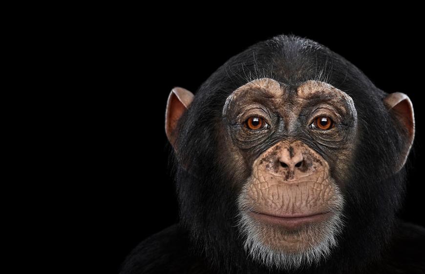фото шимпанзе крупным планом