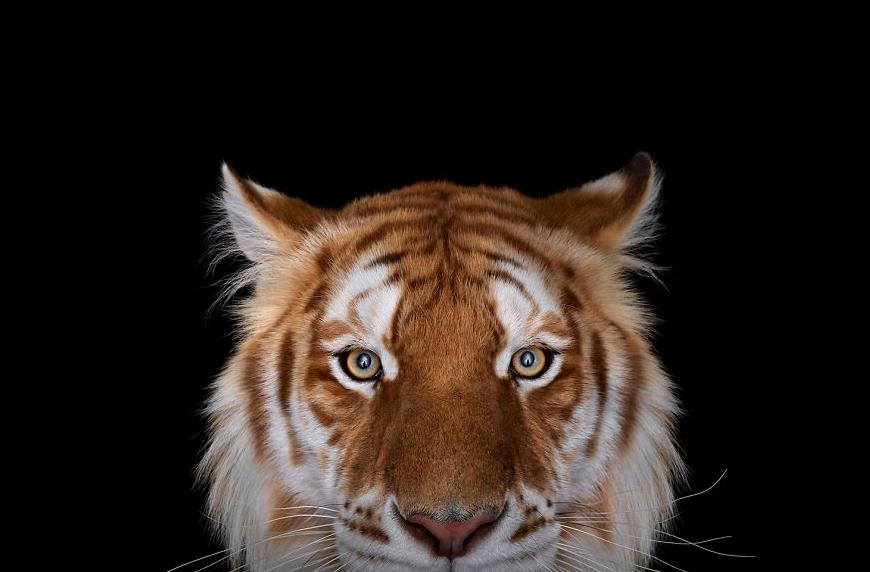 фото золотого тигра