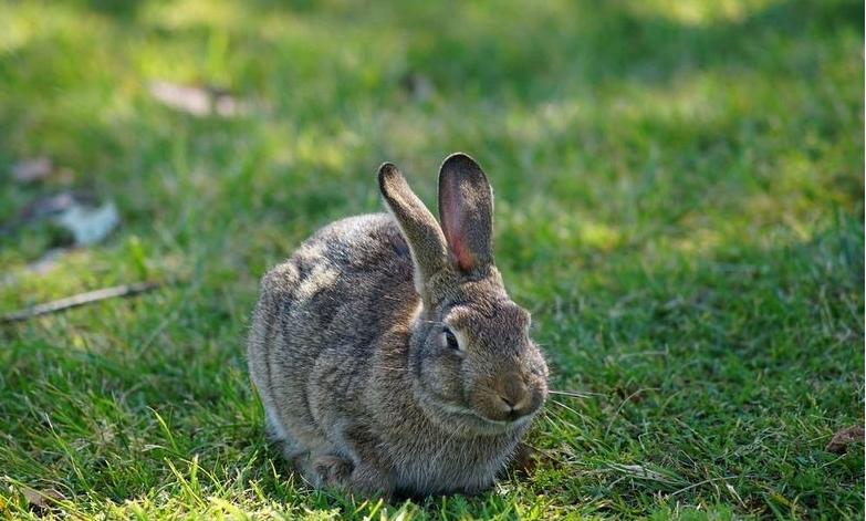 фотография австралийского кролика