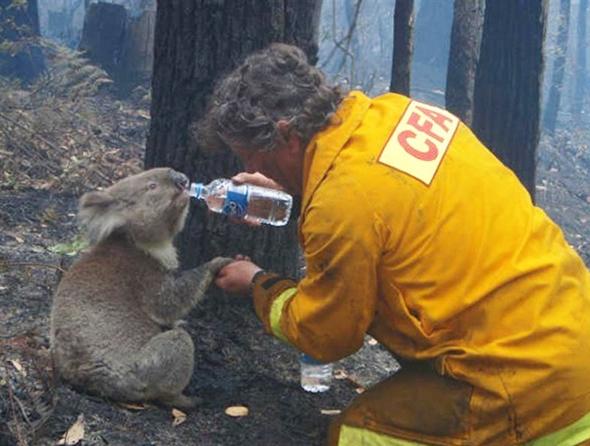 коалу отпаивают после пожара