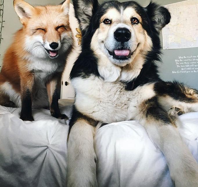 лиса и пес позируют