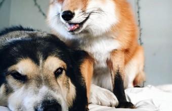лисица играет с псом